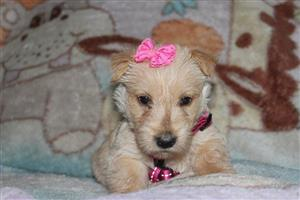 Wheaten Scottish Terrier puppies for sale (KUSA registered)