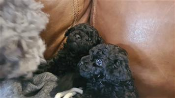 Toy French Poodles for sale