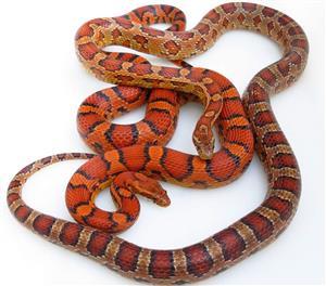 Baby Abbotts Okeetee Corn Snakes