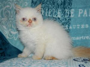 Exotic Persian male kitten
