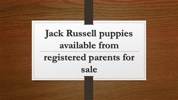 Jack Russell puppies available from registered parents for sale