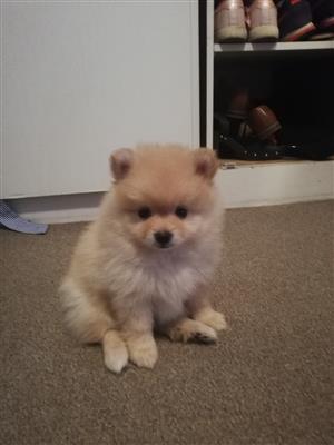 Miniature Toypom puppies