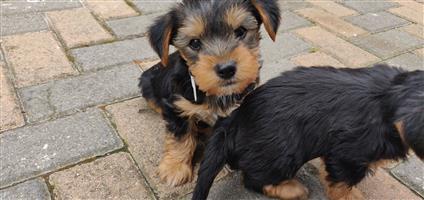 Yorkshire Terrier / Yorkie puppies