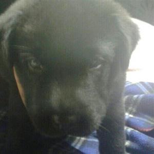 labrador male puppy