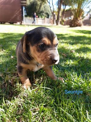 Miniature shortleg dachshunds (boys)