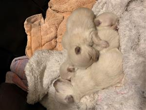 3 Toy poms for sale