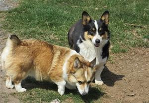 Quality Pembroke Welsh Corgis Puppies