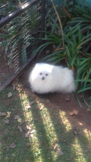 Toy Pomeranian (White) Female