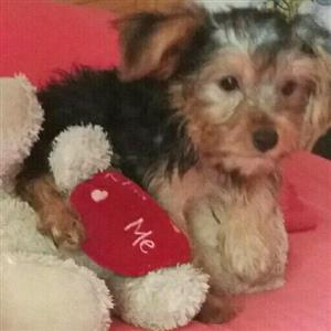 Yorkshire terrier female puppies for sale