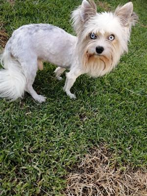 Miniature blue eyed yorkie male