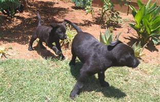Beautiful pure bred Labrador Puppies for sale Black and White