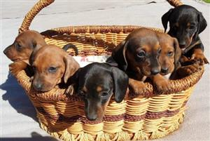 miniature dachshund in Dogs and Puppies in Gauteng | Junk Mail