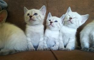 Bengal Snowbengal x Siamese kitten