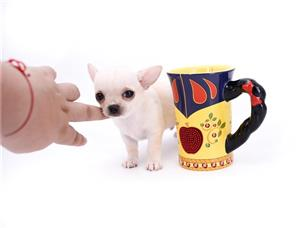 Small Miniature size Teacup CHIHUAHUA puppies