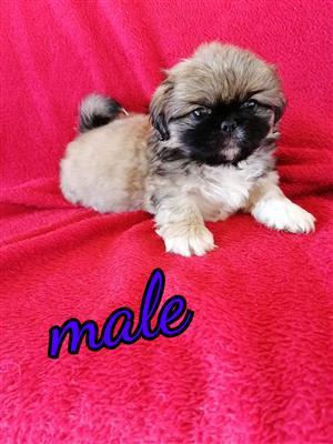 Beautiful Pekinese puppies