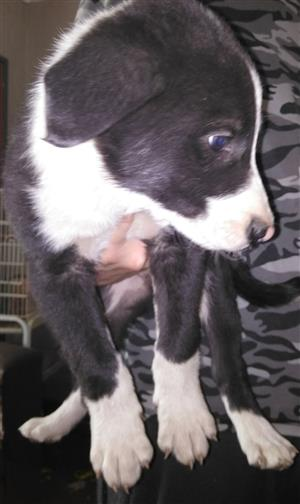 Australian heeler crossed border collie
