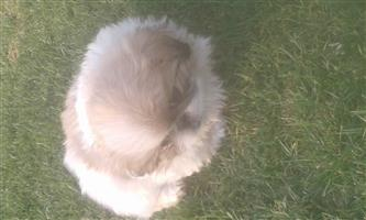 beautiful pekinese pure bred puppys 9 weeks old 1 male left at 1500