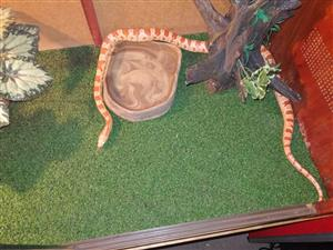 Amelanistic Corn Snake and Enclosure | Junk Mail