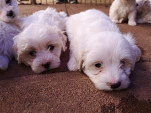 Fluffy Maltese puppies for sale