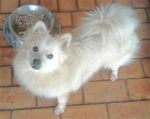 Toypom Pomeranian Pta north 0822214555