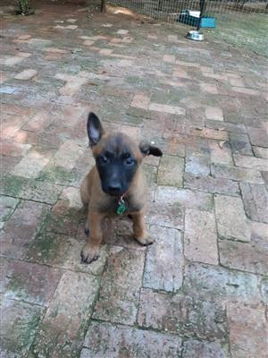 Belgian Shepherd (Malinois) Pups from registered breeder
