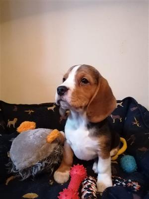 9 weeks old beagle puppies