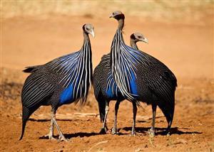 Vulturine Guinea Fowls
