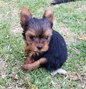 Teacup Female Yorkie puppy