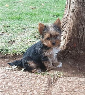 Pocket size Yorkie puppies
