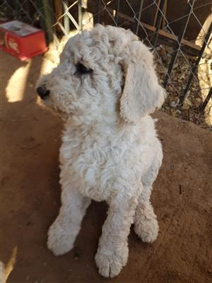 french poodle in Dogs and Puppies in Pretoria | Junk Mail