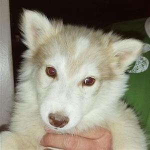 9 weeks Seberian husky puppys