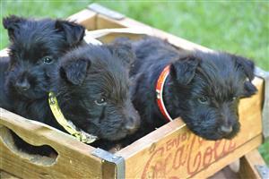 Scottish Terrier Puppie