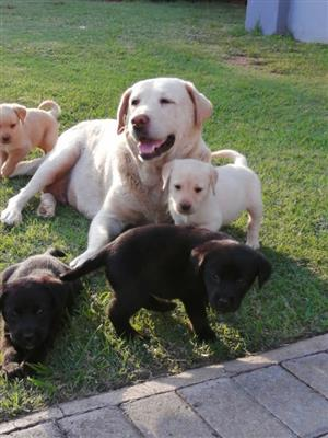Beautiful Pure bred Labrador puppies for sale, white and black