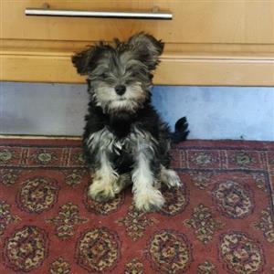 Female Miniature Schnauzer puppy