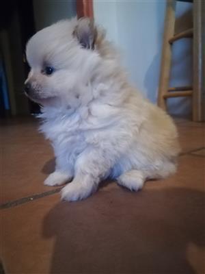 Toypom/pomeranian puppy
