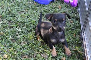 Teacup/Pocketsize chihauhau puppies for sale