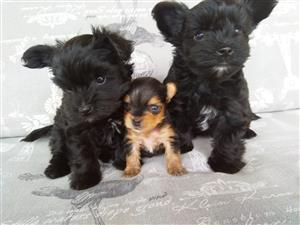 Yorkshire terrier babies for sale