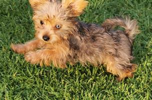Small size Female Merle Yorkie puppy