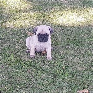 Cute little Pug puppies
