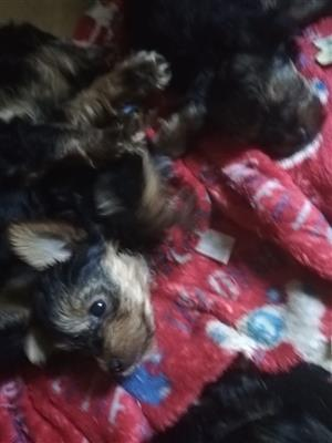 6 Yorkshire Terrier puppies for sale