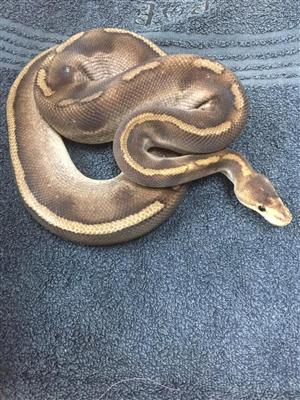 ball python in Pets in South Africa   Junk Mail