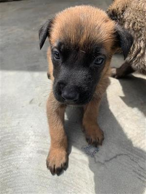 Belgian Malinois shepherd puppies for sale
