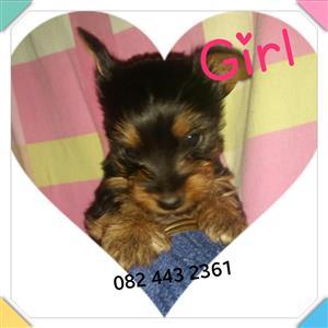 Yorkie girl pup