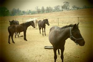 Horses For Sale - Deneysville Area