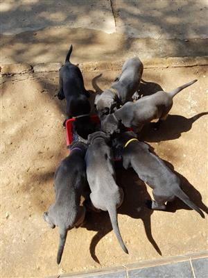 Registered Giant Great Dane puppies