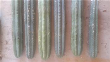San pedro Cactus cuttings 50cm