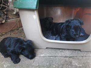 4 Opregte Swart Scottish terriers reuntjies