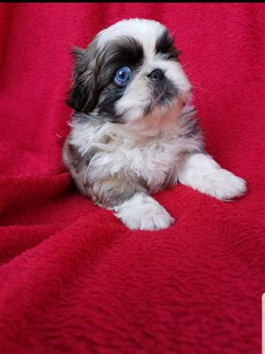 pekingese puppies for sale.Purebred miniature puppies