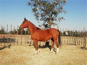 Arab Mare for Sale for Child Rider / Beginner