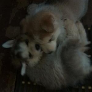 husky pupies